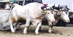 Yoke of oxen pulling a load.