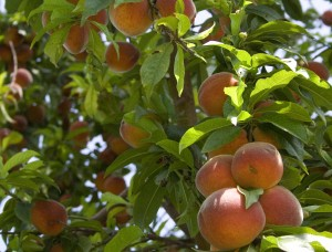 Our own peach tree